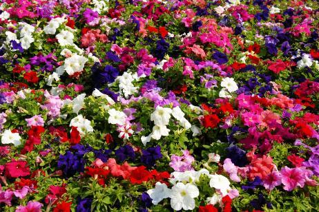 Nuestros jardines lucir n plantas de temporada for Plantas temporada
